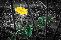 In a black and white neighborhood, a bright yellow daisy with green leaves stands out.