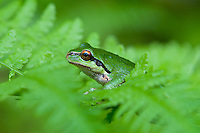 Pacific Tree Frog (Pseudacris regilla) sitting on bracken fern.  Pacific Northwest.  May.  Note: State frog of Washington State.
