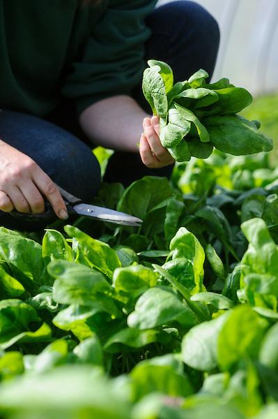 Epinard Spinach 'Palco F1'