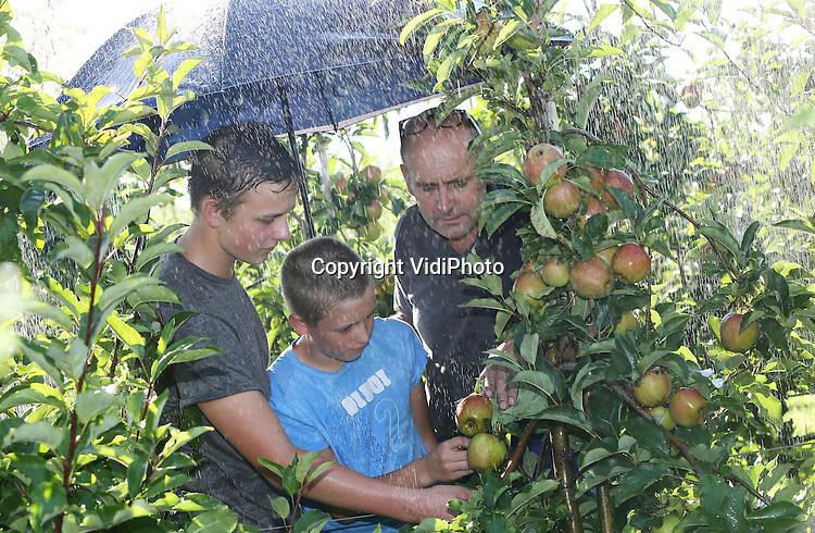 Foto: VidiPhoto<br /> <br /> DODEWAARD - Om te voorkomen dat appels letterlijk verbranden en beginnen te koken aan de bomen, gaat bij fruitteler Thomas de Vree uit Dodewaard dezer dagen de beregeningsinstallatie aan. Felle zon, tropische temperaturen en nauwelijks wind is funest voor de appels zo vlak voor de oogst. De temperatuur van de vrucht kan dan oplopen tot 60 graden Celsius en dat is funest. Vooral de donker gekleurde rassen als Wellant , Elstar en Jonagold zijn zeer gevoelig voor zonnebrand. Fruittelers verwachten een topoogst dit jaar en alleen het weer kan nog roet in het eten gooien. De Vree doet er dan ook alles aan om dat te voorkomen. De pompinstallatie draait bij deze temperaturen zo'n 5 uur per dag. Door de flinke regenval van de afgelopen weken is er voldoende watervoorraad in de sloten voor de 7,5 ha fruit van de teler uit Dodewaard. Tegelijkertijd draaien ook de druppelaars onder de bomen op volle toeren om voor voldoende vocht te zorgen, zo'n 3 mm per uur. De Vree gebruikt op dit moment zo'n 1000 kuub regenwater per dag.