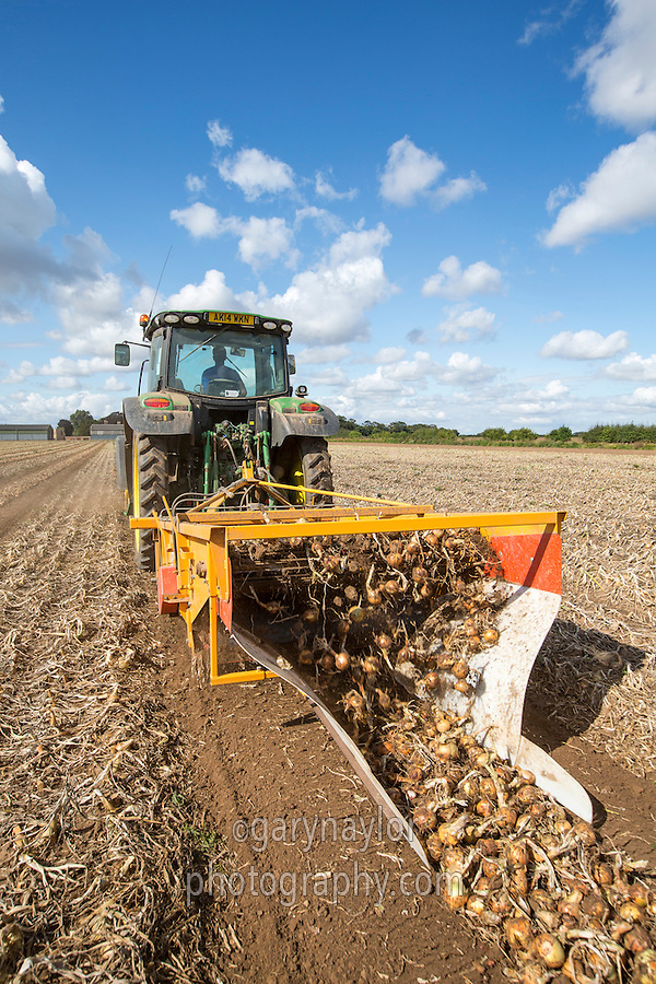 Topping & windrowing onions ready for harvest - Lincolnshire, August