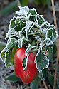 Autumn hoar frost on end-of-season sweet pepper, late October.