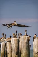 Brown Pelican checks out Gulf of Mexico near historic Naples Fishing Pier, Naples, Florida, USA, Oct. 3, 2011. Photo by Debi Pittman Wilkey