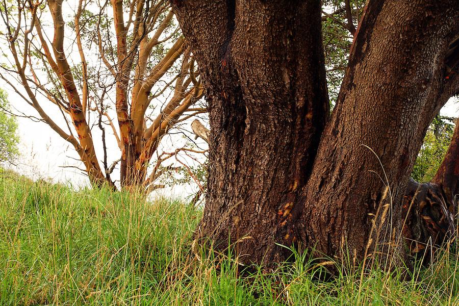 Pacific Madrone tree, Westside Preserve, San Juan Island, Washington, USA