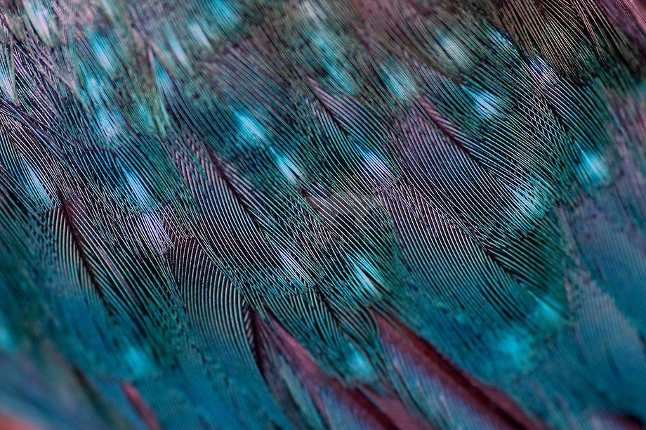 IJsvogel (Alcedo atthis), veren in detail.