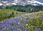 Mount Rainier Natl Park,  WA<br /> Meadows of alpine wildflowers on Mazama ridge with snow fields on the flanks of Mount Rainier in the background