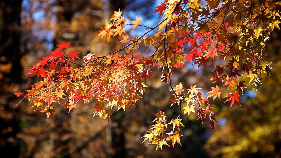 Autumn Leaves On A Tree Near Ruqin Lake, Lushan.