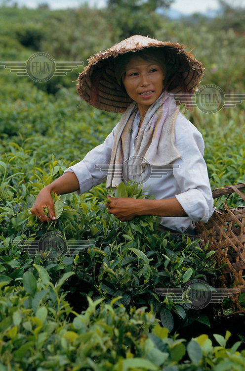 A woman picks tea.