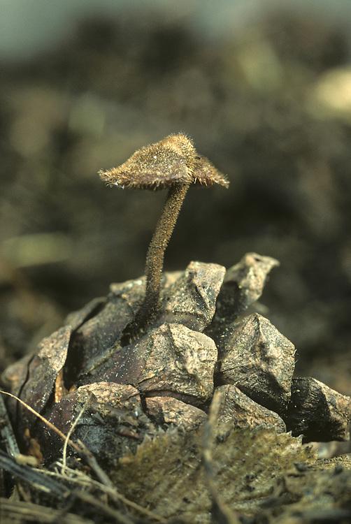 Earpick Fungus - Auriscalapium vulgare