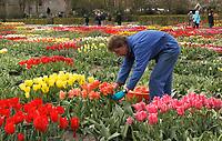 Hortus Bulborum in Limmen.  In de tuin staan meer dan 4000 soorten. De hortus, waarin voornamelijk tulpen staan, is in 1928 opgericht. Tuinder verwijdert de bloemen van de tulpen, zodat de bollen verder kunnen groeien.