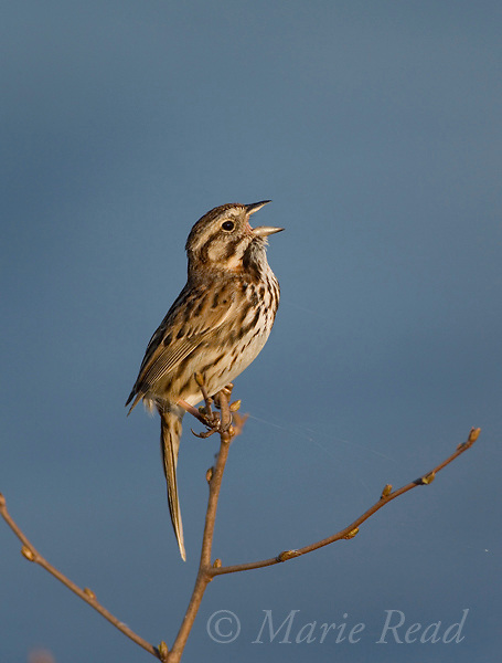 Song Sparrow (melospiza melodia) singing, Montezuma National Wildlife Refuge, New York, USA.
