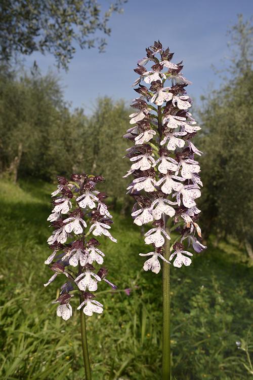 Lady Orchid - Orchid purpurea