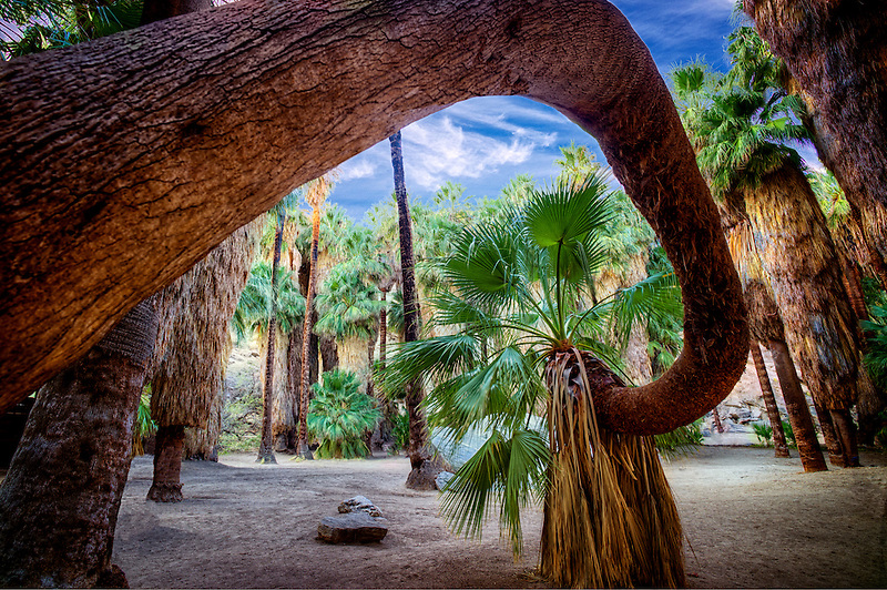 Twisted palm tree. Palm Canyon. Indian Canyons. Palm Springs, California.