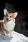 Pembroke Welsh Corgi <br />