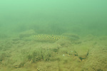 burbot, image taken in 45 foot of water on a rocky ledge in Central Minnesota. Commonly known as Eel Pout the sceintific name Lota lota (Linnaeus) is the only freshwater species of cod found in North America.