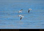 American Avocets in Fall Plumage, Swan Lake, Yellowstone National Park, Wyoming