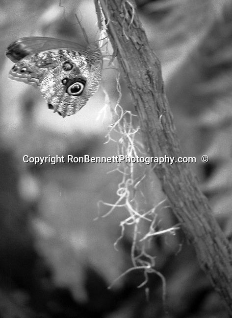 Owl butter fly on tree, butterfly, Caligo, butterflies, owls eyes, Owl butterflies, Animal, wild animals, domestic animals,  Fine Art Photography, Ronald T. Bennett (c) Fine Art Photography by Ron Bennett, Fine Art, Fine Art photography, Art Photography, Copyright RonBennettPhotography.com ©