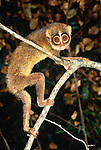 Red slender loris, indigenous to India and Sri Lanka. (captive)