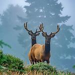 Roosevelt Elk, Sinkyone Wilderness State Park, Lost Coast, Mendocino County, California
