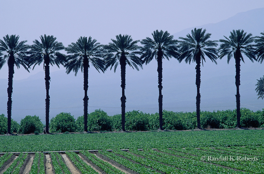 Palm trees in a row alongside green field of crops, near Indio, California