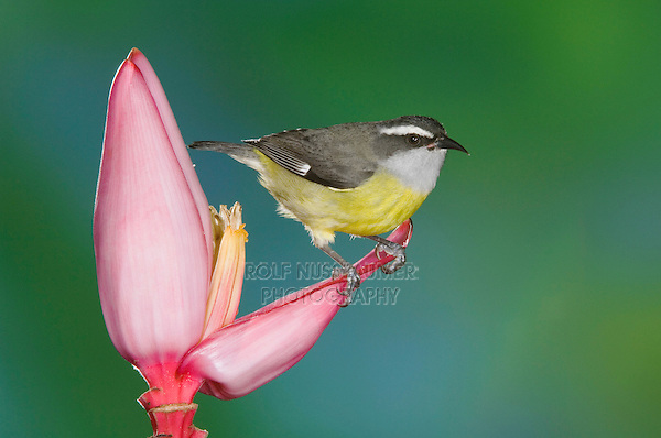 Bananaquit, Coereba flaveola, adult on Ornamental Banana plant flower(Musa velutina), Central Valley, Costa Rica, Central America