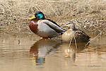 Ducks, mallard, anas platyhynchos,