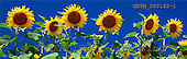 Tom Mackie, FLOWERS, photos, Sun Flowers, Alpes de Haute, Provence, France, GBTM080182-1,#F# Garten, jardín