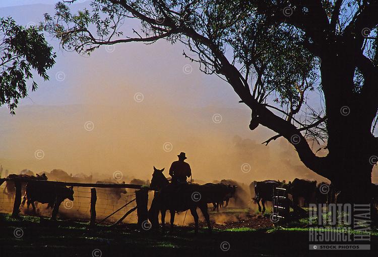 Cowboys working a cattle herd on Parker Ranch, Waimea (Kamuela)