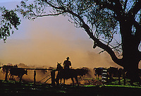 Cowboys working a cattle herd on Parker Ranch, Waimea (Kamuela)