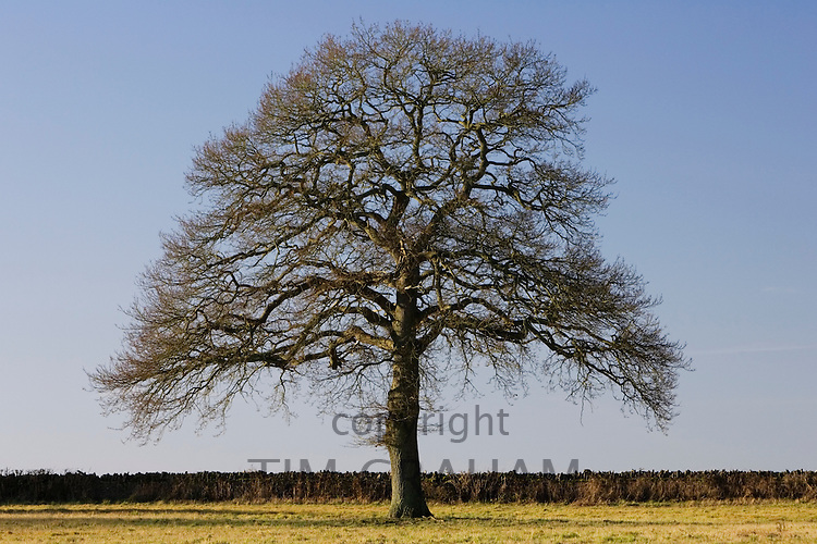 Oak tree, The Cotswolds, Oxfordshire, United Kingdom