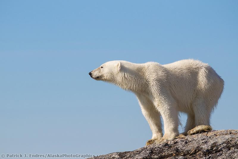 Polar bear on rocky island, Svalbard
