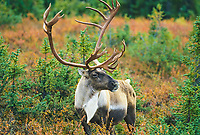 Bull caribou portrait, Denali National Park, Alaska