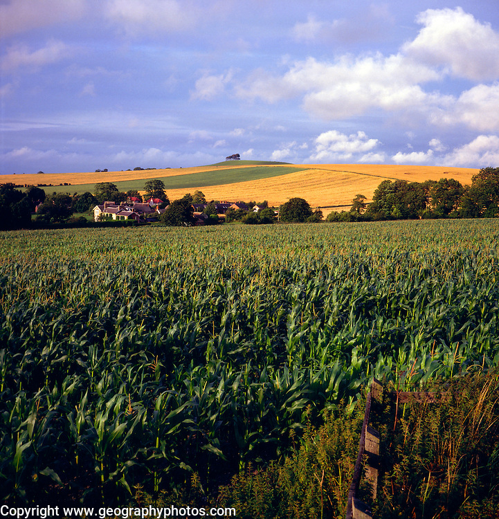 Chalk landscape  with sweetcorn in field, Bishops Cannings, Wiltshire, England