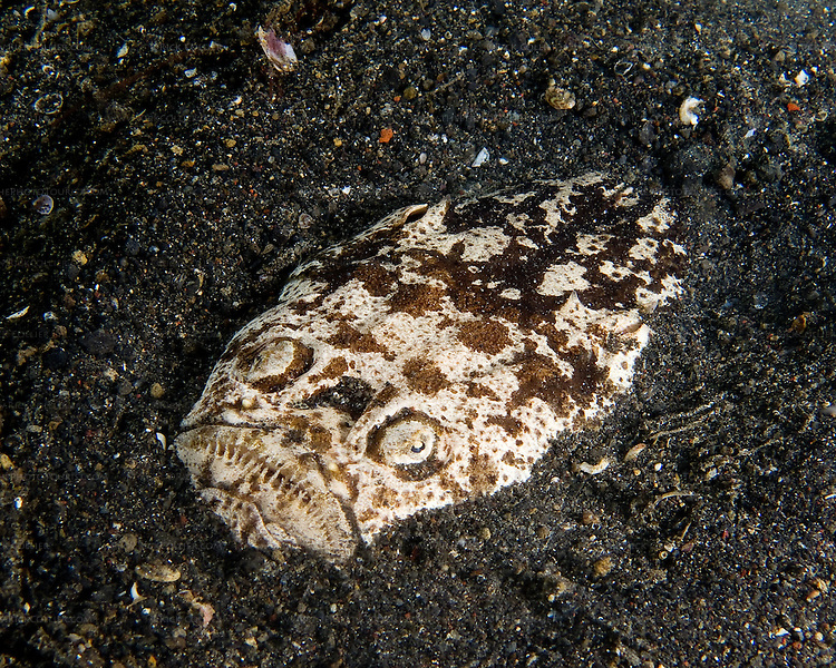 "The Stargazer is an ambush predator that hunts at night.  It buries itself in the sandy bottom, creating a shallow depression with only its ""face"" exposed.  The fish will remain completely motionless -- a fixture in the bottom.  Until an edible-size fish seeks refuge in its sandy depression.  Then: Meal time.  The Stargazer is normally seen in the sandy bottom at night."