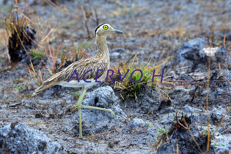 Téu teu da savana<br /> Aves da Amazônia.<br /> Roraima, Brasil.<br /> Foto Jorge Macedo