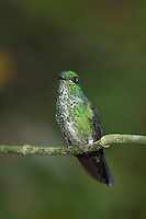 Green-crowned Brilliant, Heliodoxa jacula, female perched, Central Valley, Costa Rica, Central America, December 2006