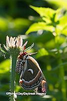 04013-00109 Cecropia Moth (Hyalophora cecropia) in flower garden, Marion Co., IL