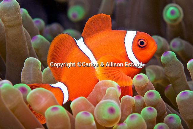 Premnas biaculeatus, Spinecheek anemonefish, Indonesia