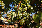sweet white wine grapes.