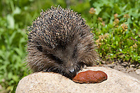 Igel erbeutet Nacktschnecke, Nackt-Schnecke, Schnecke im Garten, Nützling überwältigt Schädling, Westigel, Braunbrustigel, West-Igel, Braunbrust-Igel, Erinaceus europaeus, western hedgehog, European hedgehog, Rote Wegschnecke, Arion rufus, large red slug, greater red slug, chocolate arion