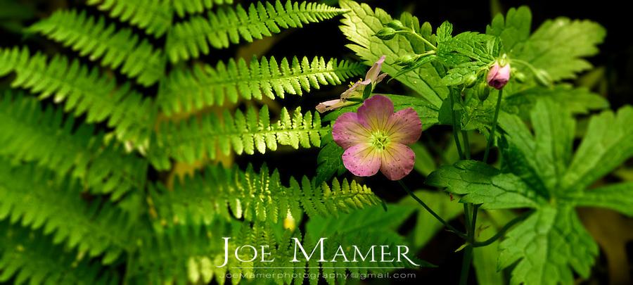 Wild geranium flower and fern.