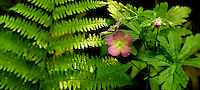 Wild geranium flower and fern.