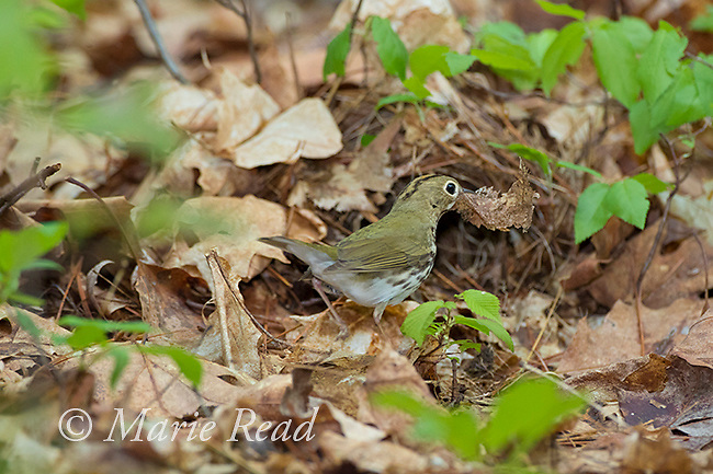 Ovenbird (Seiurus aurocapillus) bringing a dead leaf as nest material to its nest on the forest floor, Ithaca, NY, USA