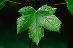 ADFWP9 Leaf  sycamore tree with sticky sap. Image shot 06/2006. Exact date unknown.