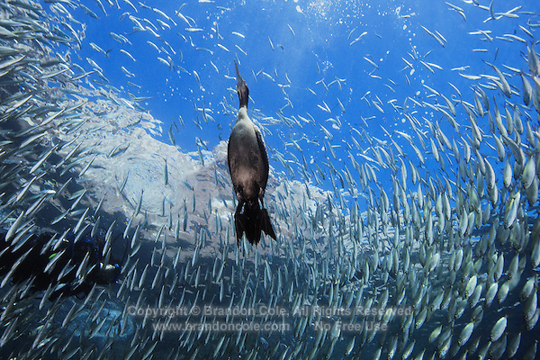 QT0350-D. cormorant (Phalacrocorax sp.) bird swimming underwater feeding on fish in a school of Bigeye Scad (Selar crumenophthalmus). Baja, Mexico, Sea of Cortez, Pacific Ocean.<br /> Photo Copyright &copy; Brandon Cole. All rights reserved worldwide.  www.brandoncole.com