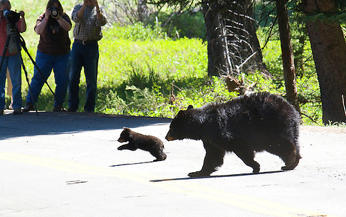 A MOTHER BEAR AND HER CUB ARE PHOTOGRAPHED BY VISITORS AT YELLOWSTONE NATIONAL PARK,WYOMING