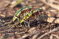Tiger beetles (Cicindela campestri) in a close embrace. Isle of Purbeck, Dorset, UK.