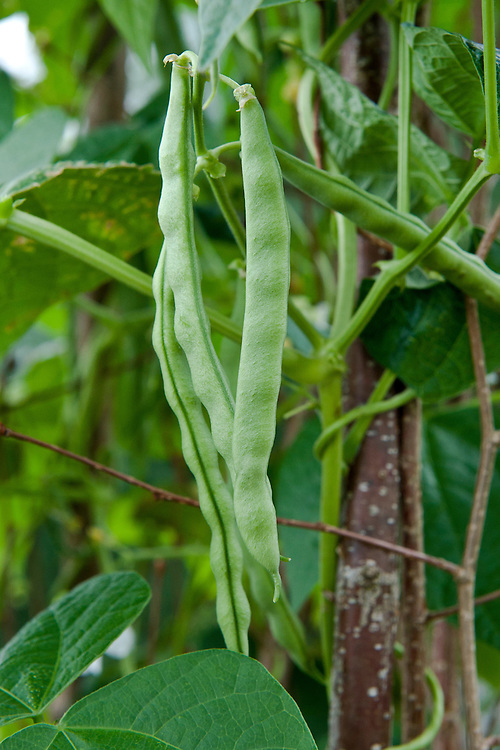 "Climbing French bean 'Extra Hatif de Juliet', early August. ""Originally purchased from a French market stall in the early 1950s...Once established, the bean is fast-growing and vigorous, producing pods until the first frosts. Completely stringless, even when fully mature and with excellent flavour."" (Heritage Seed Library)"