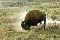 Buffalo, pawing the ground in Yellowstone National Park