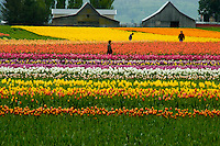 Skagit Valley Tulip Field, converted in PhotoShop Watercolor. Washington State.